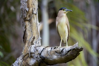 Torresian Nankeen Night-Heron (Nycticorax caledonicus hilli) - Gubara, NT