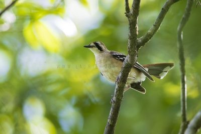 Northern Scrub-robin (Drymodes superciliaris superciliaris)