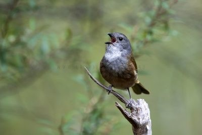 Olive Whistler - Calling (Pachycephala olivacea apatetes)
