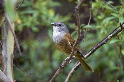 Olive Whistler (Pachycephala olivacea apatetes)