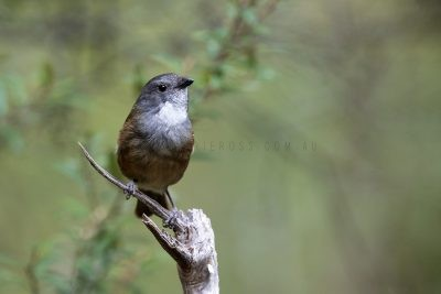 Olive Whistler (Pachycephala olivacea apatetes).1
