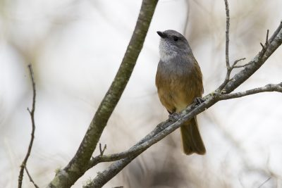Oliver Whistler (Pachycephala olivacea apatetes)