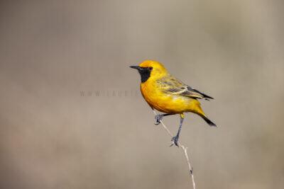 Orange Chat - Male1