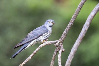 Oriental Cuckoo
