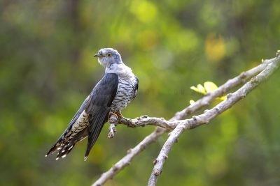 Oriental Cuckoo.2