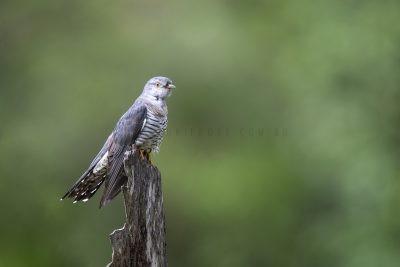 Oriental Cuckoo.3
