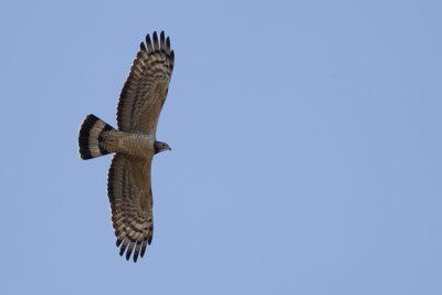 Oriental Honey-buzzard (Pernis ptilorhynchus)2