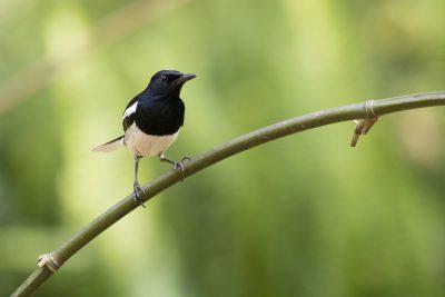 Oriental Magpie-robin - Male (Copsychus saularis)