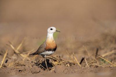 Oriental Plover - Breeding Colours (Charadrius veredus).2