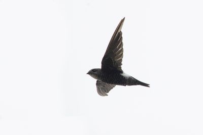 Pacific (Fork-tailed) Swift (Apus pacificus pacificus)