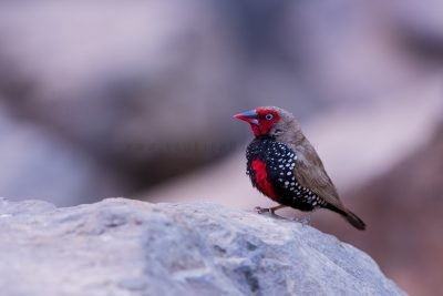 Painted Finch - Male