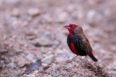 Painted Finch - Male.1