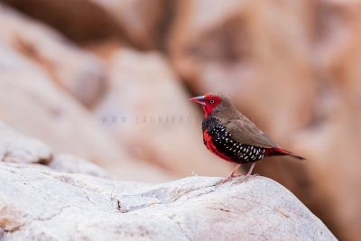 Painted Firetail - Male (Emblema pictum).1