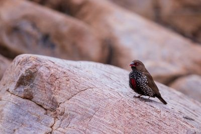 Painted Firetail - Male (Emblema pictum).2