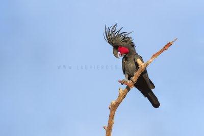 Parrots, Lorikeets, Rosellas, Cockatoos & Corellas