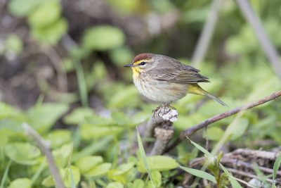 Palm Warbler (Setophaga palmarum)1