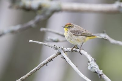 Palm Warbler (Setophaga palmarum)2