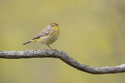 Palm Warbler (Setophaga palmarum)3