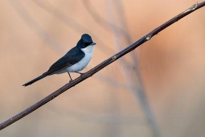Paperbark Flycatcher (Myiagra nana)1