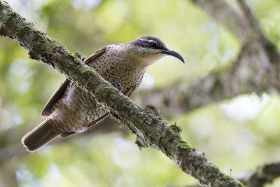 Paradise Riflebird - Female (Ptiloris paradiseus)