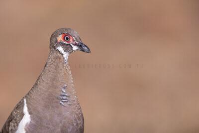 Partridge Pigeon - Portrait