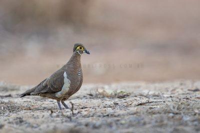 Patridge Pigeon - Yellow-faced (Geophaps smithii blaauwi)