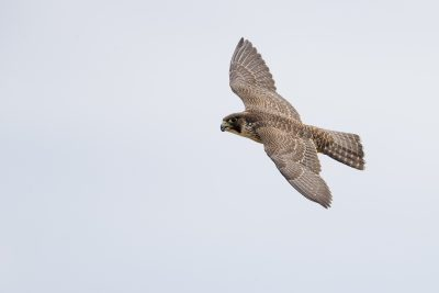Peregrine Falcon - In Flight (Falco peregrinus macropus)