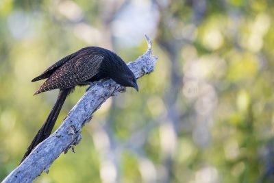 Pheasant Coucal (Centropus phasianinus phasianinus).1