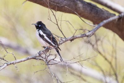 Pied Honeyeater (Certhionyx variegatus) - Alice Springs, NT