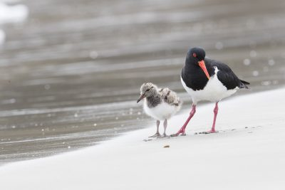 Pied Oystercatcher - Parent with Chick (Pied Oystercatcher (Haematopus longirostris)