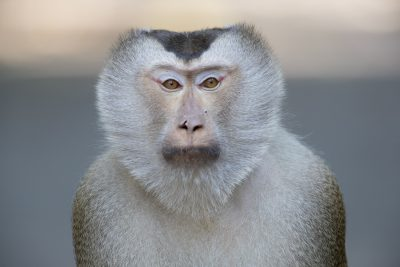 Pig-tailed Macaque - Male (Macaca nemestrina)