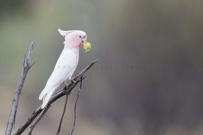 Pink Cockatoo (Lophochroa leadbeateri mollis)