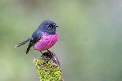 Pink Robin - Male.6