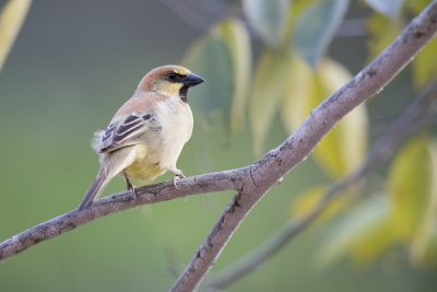 Plain-backed Sparrow (Passer flaveolus)
