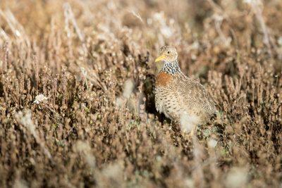Plains-wanderer - Female (Pedionomus torquatus)