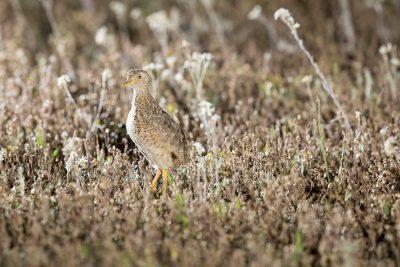 Plains-wanderer - Male (Pedionomus torquatus)