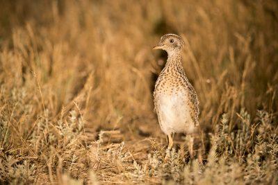 Plains-wanderer - Male (Pedionomus torquatus)3