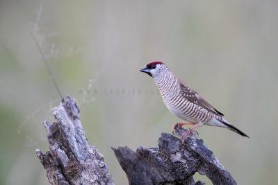 Plum-headed Finch - Male