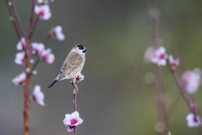 Plum-headed Finch - Male (Neochmia modesta).2