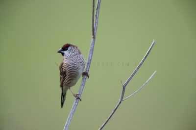 Plum-headed Finch - Male (Neochmia modesta)1