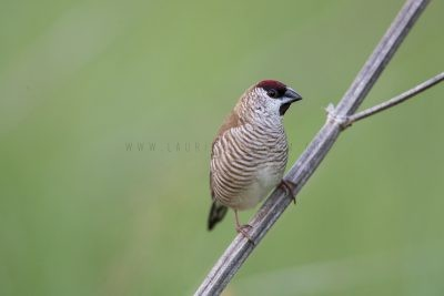 Plum-headed Finch - Male (Neochmia modesta)3