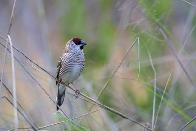 Plum-headed Finch - Male (Neochmia modesta)4
