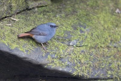 Plumbeous Redstart - Male (Phoenicurus fuliginosus).
