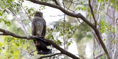 Powerful Owl - Panoramic (Ninox strenua).