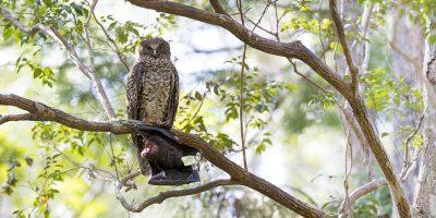 Powerful Owl Panoramic (Ninox strenua)