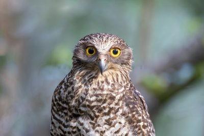 Powerful Owl - Portrait (Ninox strenua).1