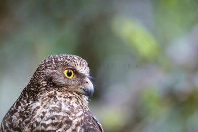 Powerful Owl - Side Profile (Ninox strenua)