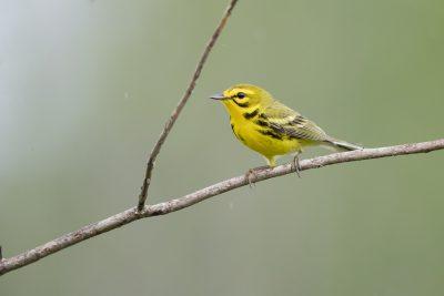 Prairie Warbler - Male (Setophaga discolor)