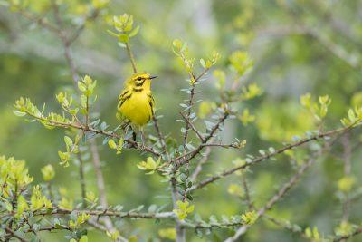 Prairie Warbler - Male (Setophaga discolor)1