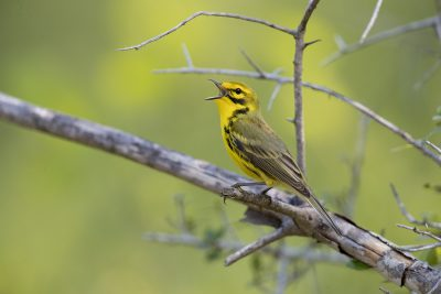 Prairie Warbler - Male (Setophaga discolor)3